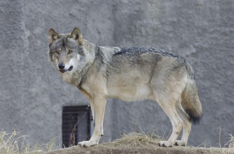 オオカミ型特徴
