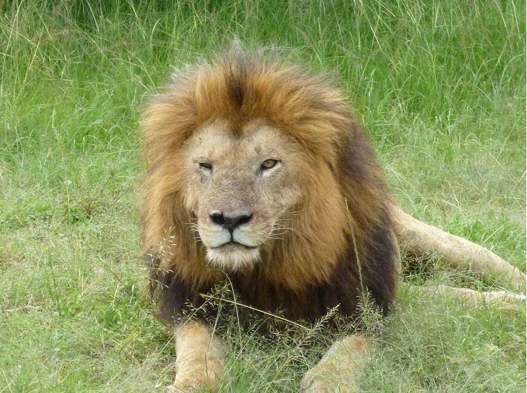 ライオン型特徴